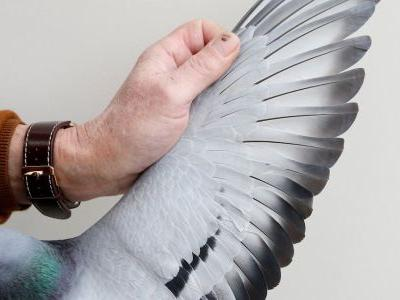 2 professional pigeon racers in China are going to prison for smuggling their birds to the finish line on a bullet train