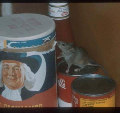 NYC Mice Are Carrying Antibiotic-Resistant Germs