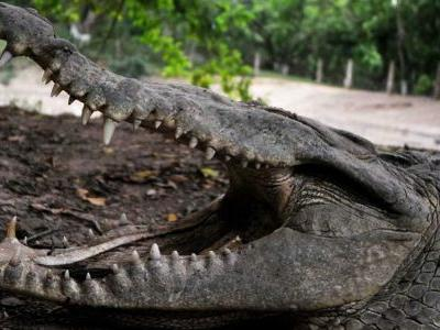 American crocodiles thriving outside South Florida nuclear plant