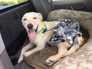 Dog Lost After Traumatic Car Accident Finally Reunites With Her Humans