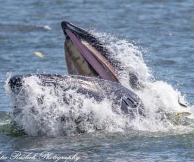 Fishing nets are taking whales' food in the shadow of Manhattan. Here's what you need to know