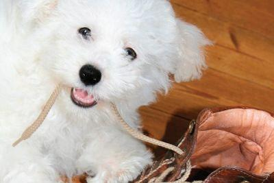 All About the Bichon Frisé Breed