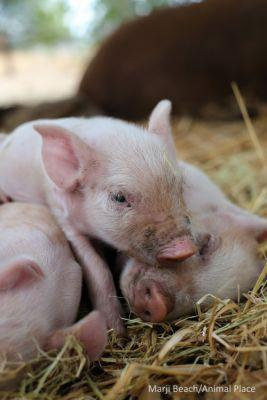 If these piglets were not born in the safety of a sanctuary to