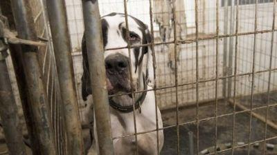84 Great Danes Rescued In New Hampshire In 'Worst' Squalor
