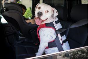 Pet Car Safety Tips