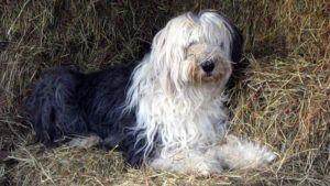 Choosing The Best Joint Supplement for a Old English Sheepdog
