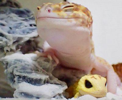 This happy gecko and his plastic toy are the most blessed thing you'll see today