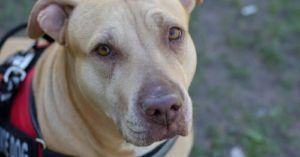Department of Transportation Says That Delta's Ban on Pit Bull Breed Service Dogs Won't Fly