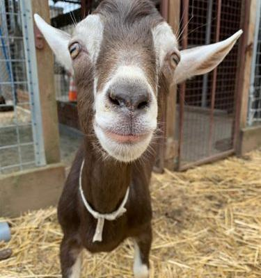 """VINCENT VAN GOAT"" young anglo-nubian mix"