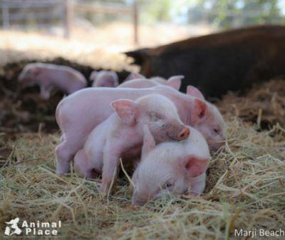 Sometimes Monday calls for a pile of adorable piglets, circa