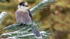 Spoiler Alert: Can Gray Jays Survive Warmer Weather?