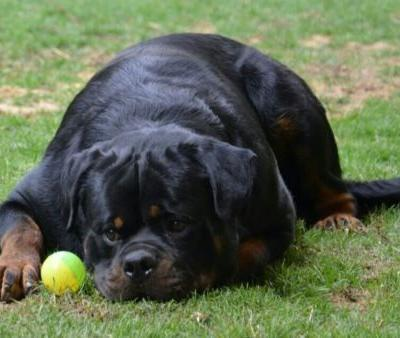 MY ROTTWEILER IS ACTING LIKE A CHIHUAHUA!