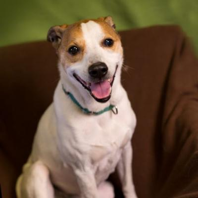"""WEBSTER"" cute Jack Russell Terrier mix"
