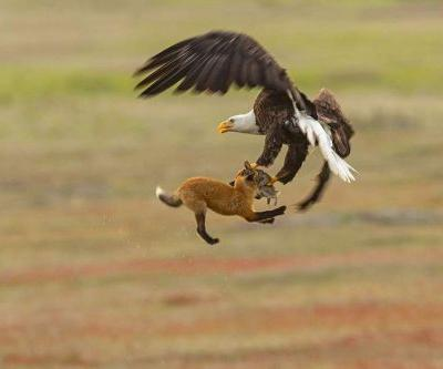 Wildlife photographer catches bald eagle swiping rabbit from baby fox