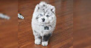 Chow Puppy Looks Like A Bowl Of Cookies & Cream