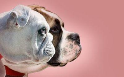 Dutch ban short-nosed dogs prompting fears that other countries could follow