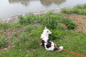 5 Tips To Prevent Your Corgi From Pulling on Leash
