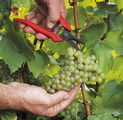The Future of Champagne: Climate Change and Sustainability
