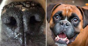 If Your Boxer's Nose Is Dry & Crusty, It Might Be Nasal Hyperkaratosis. Here's What To Do