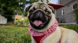 Improve Your Pug's Skin & Coat With This One Simple Hack