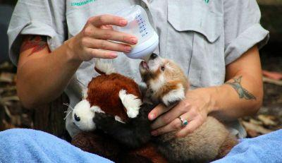 Maiya the red panda cub can't be without the toy that looks just like her