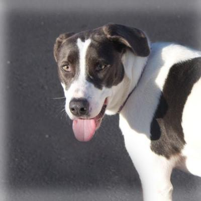 """SCARLET"" sensitive sweetie Pointer mix loves toys"