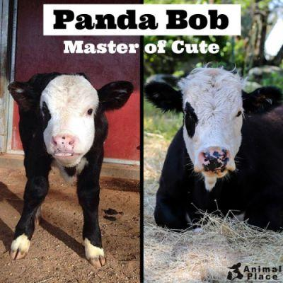 Watch out, world! Panda Bob knows how to cute. Read his story