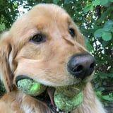 Wait, This Golden Retriever Can Carry HOW Many Tennis Balls in His Mouth?!