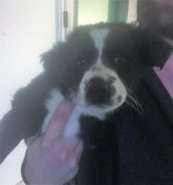 """JULIUS PUPPERS"" cute Border Collie puppy!"