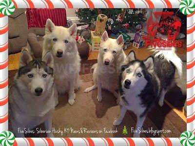 Christmas Huskies in July on a FiveSibes Flashback Friday!