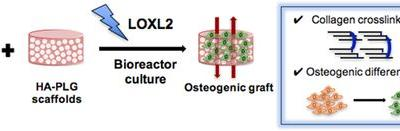 Exogenous Lysyl Oxidase‐Like 2 and Perfusion Culture Induce Collagen Crosslink Formation in Osteogenic Grafts