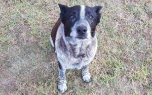 Partially Blind Senior Dog Guards 3-Year-Old Lost In Australia Bush