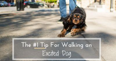 The 1 Tip For Walking an Excited Dog