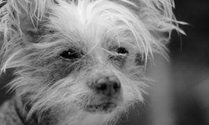 3 Amazing Ways To Honor A Chinese Crested Who Passed Away