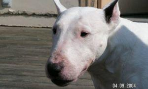 3 Amazing Ways To Honor A Bull Terrier Who Passed Away