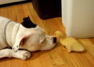 This Pitbull's Reaction To Meeting A Baby Duck Will Melt Even The Hardest Heart