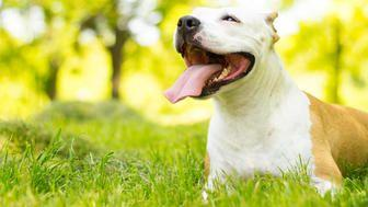 Montreal Is Ending Its Ban On Pit Bulls