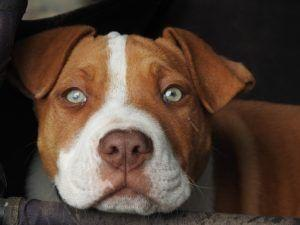 Study Shows That Dogs' Facial Expressions Change When Looking At You