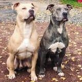 I Can't Stop Staring at These Perfectly in Sync Pitbull Brothers -They're SO Well Trained!