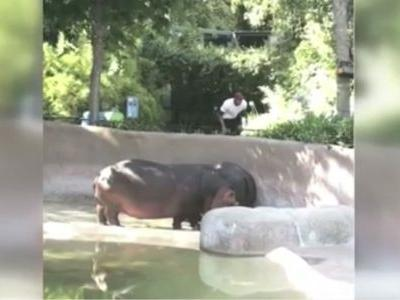 Report: Police investigate video of man spanking hippo at zoo