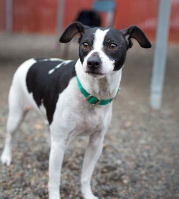 """BONGO"" cool markings- Rat Terrier mix"