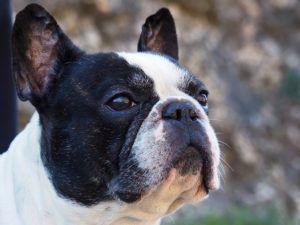 Top 3 Health Concerns For Your French Bulldog