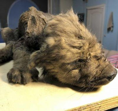 Ancient puppy, believed to be 18,000 years old, found in Russian permafrost