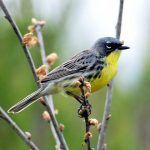 Tracking the Kirkland's Warbler