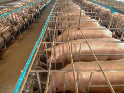 Could Crate-Free Pork Become the New Industry Standard?