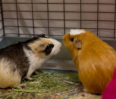"""ENGLAND"" and ""BELGIUM"" delightful Guinea Pigs"