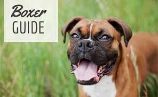 Boxer: A Great Family Pet