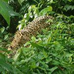 Tracking the Jaguars of Belize