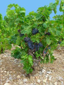 A New Look at an Old Favorite: Cabernet Sauvignon Study Generates a Transcriptome of Ripening Berries