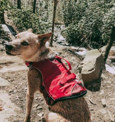 Why Your Dog Needs a Life Jacket